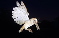 A barn owl defty swoops to catch its prey. (Credit: Getty)