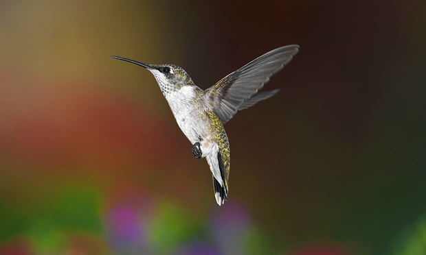 aerodynamics of hummingbird flight The hummingbird is a very small species and one that may people are familiar with there are 343 species of them that have been identified they live in regions found all over the world in both north and south america.