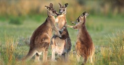 The best place to see kangaroos in the wild is in Canberra. (Credit: Getty Images)