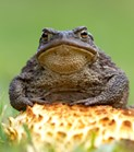Some research suggests toads and other animals can detect earthquakes before humans can. (Credit: Getty Images)