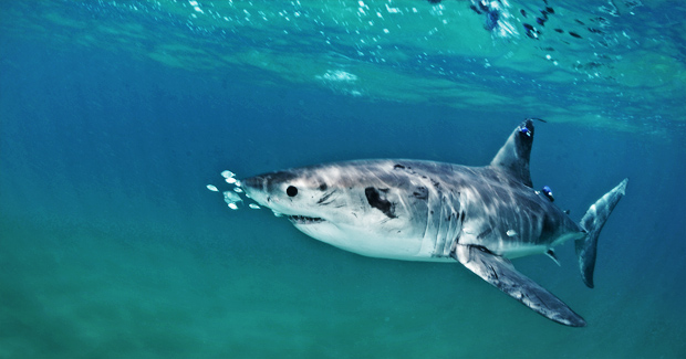 Great White Shark Nursery Australian Geographic - Great white shark range us map