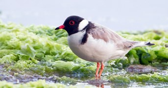 Endangered hooded plovers are beach-going birds (Credit: Wikimedia)