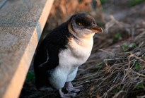 A little, or fairy, penguin on Phillip Island. (Credit: Wikimedia)