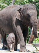 Mother elephant Pak Boon puts a protective foot around her baby Tukta at Taronga Zoo. (Credit: Carolyn Barry)