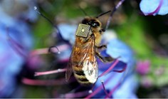 Honeybee with RFID sensor attached