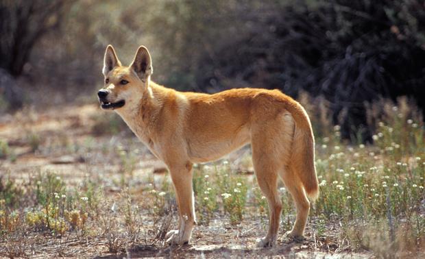 how to keep native australian animals as pets