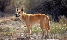 Purebred populations of dingoes are few and far between. (Photo: Getty)