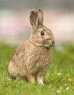 Introduced European rabbits have plagued Australia, where there are no natural predators. (Photo: Wikicommons)