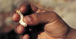 The witchetty (Witjuti) grub has been used by Aboriginal people to treat burns to the skin. (Photo: David Dare Parker)