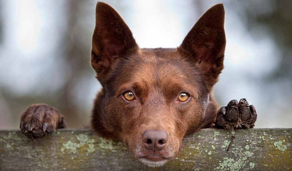 Tribute to Aussie working dogs - Australian Geographic