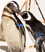 Metal wing bands that scientists use to track penguins, similar to these plastic ones, could be harmful. (Photo: Getty Images)