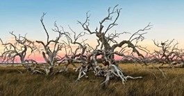 Richard's shots, such as 'Gnarled skeletons' pictured,  are panoramas best viewed at wide format (Richard Green).