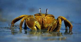 Mud crab in WA (Photo: Getty Images)
