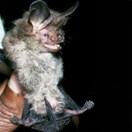Species of greater long-eared bat (Nyctophilus shirleyae) from PNG (Photo: Harry Parnaby)