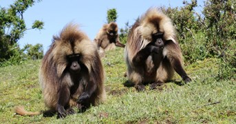 Gelada monkeys (Photo: Nick Pattinson)