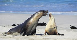Fur seals on Kangaroo Island (Photo: Mitch Reardon)