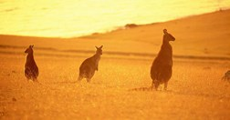 Maria Island wallabies (Photo: Tourism Australia)