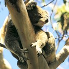 Koala along the Great Ocean Road, Victoria (Photo: Mike Leonard)