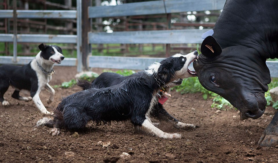 australian working dogs pressure and release - Australian Geographic
