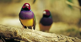 The Gouldian Finch