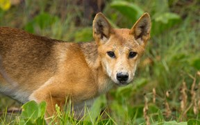 Images of Australia: Dingo, Fraser Island, Queensland