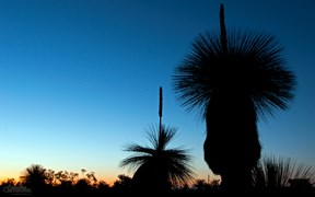 Images of Australia: Grass trees