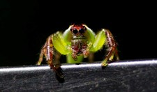 A curious Green jumping spider (Mopsus mormon) marvels at his own reflection.