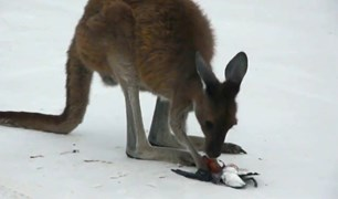 Rare video of a kangaroo eating meat - a shearwater - has been captured.