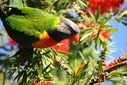A rainbow rorikeet (Trichoglossus haematodus) feeds on flowering bottlebrush