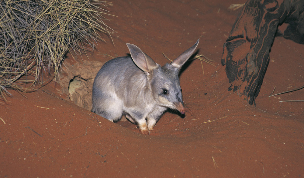 save the bilby fundraiser australian geographic