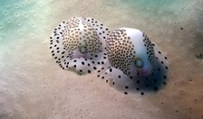 Egg cowries are sea snails that often look like cowrie shells.
