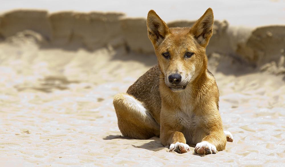 Dingo Australia