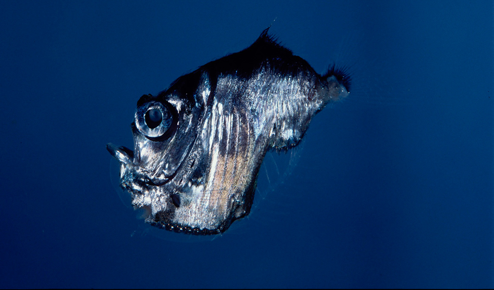 Hatchetfish bioluminescence - photo#10