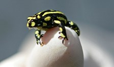 The southern corroboree frog was down to fewer than 20 individuals before the captive breeding program was established.
