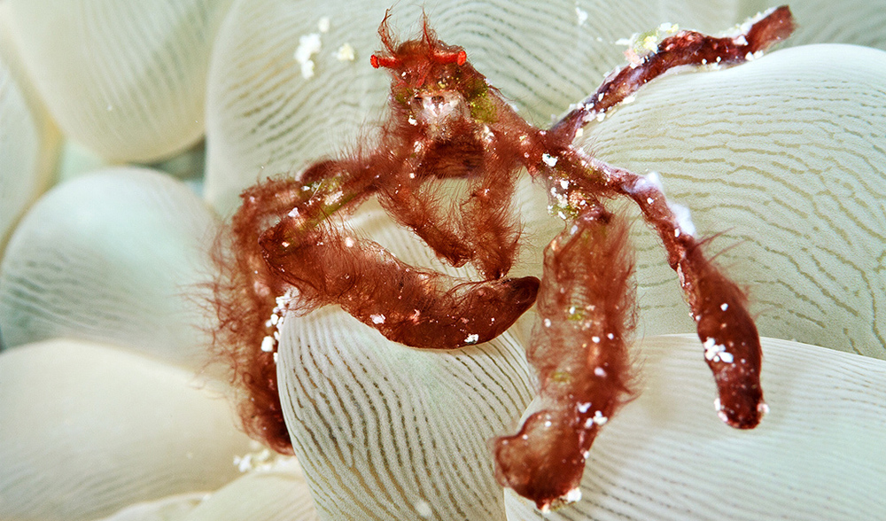 Orangutan Crab A Decorator Expert Australian Geographic