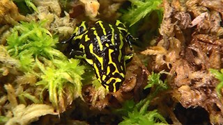 The colourful southern corroboree frog is one of Australia's most endangered species.