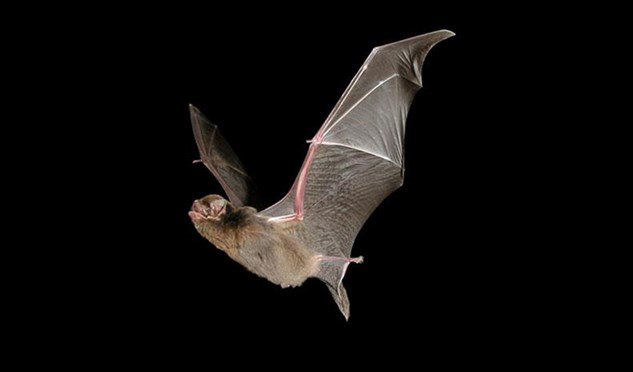 Southern bent-wing bat