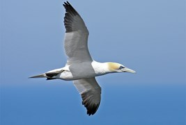 Northern gannets migrate thousands of kilometres annually, probably using magnetism as well as the Sun, stars and smell to navigate.