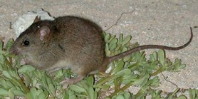 Bramble Cay melomys declared extinct