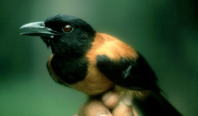 The hooded pitohui has toxic feathers.