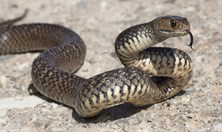 The eastern brown snake is responsible for the most snake-related deaths in Australia.