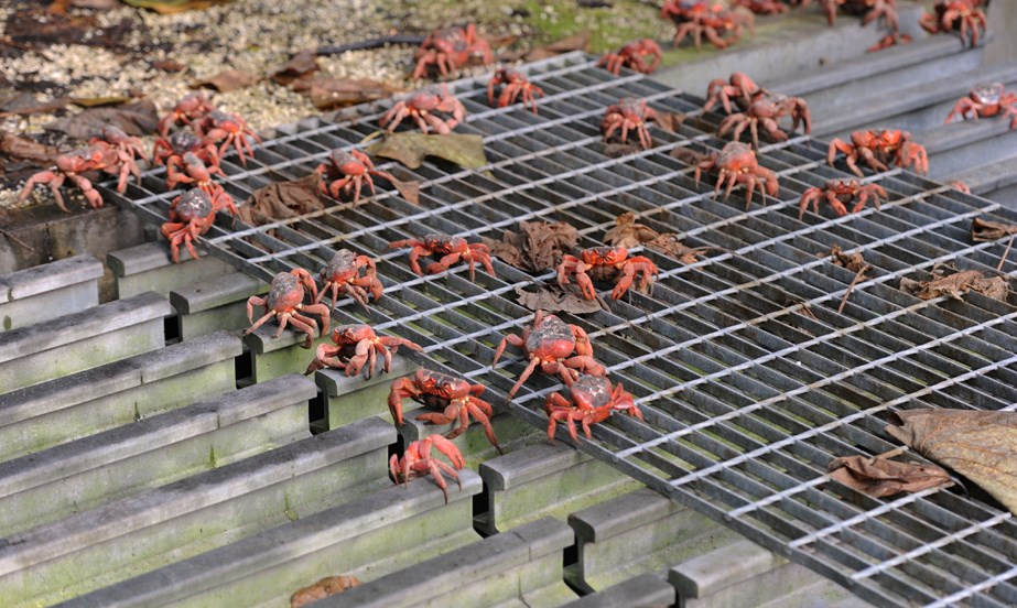 gallery christmas island red crab migration australian geographic
