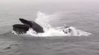 A humpback whale lunge feeding at Eden, New South Wales.