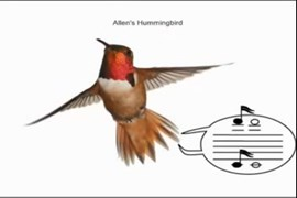Allen's hummingbird produces separate tones with its narrowed tail feathers. (Credit: Anand Varma)