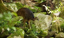 An endangered juvenile cassowary in the Daintree rainforest, Queensland. (Photo: Andrew Gregory)