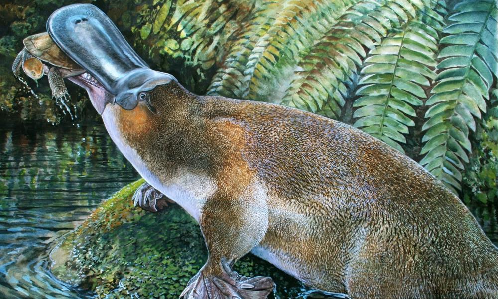 Platypus Sting