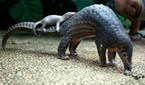 A pangolin carries its baby at a Bali zoo, Indonesia, 19 June, 2014. The pangolin baby was born on May 31.