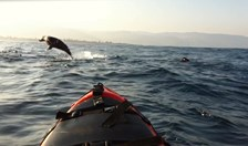 Australian fur seal play and investigate the kayaks in Apollo Bay, Vic.