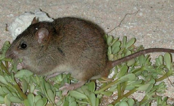 Bramble Cay melomys, or mosaic-tailed rat.