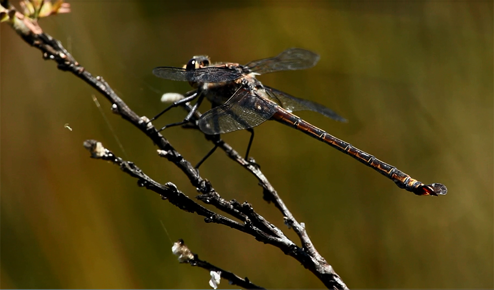 Giant dragonfly - photo#6